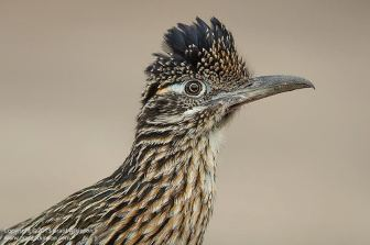 Greater Roadrunner - Atkinson Photography and Safaris