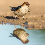 Greater-Striped Swallow reflection.