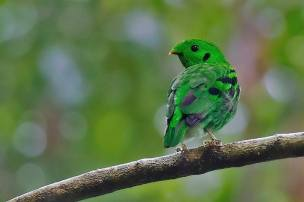 Green Broadbill - Calyptomena viridis - in Thailand by Rey Aguila