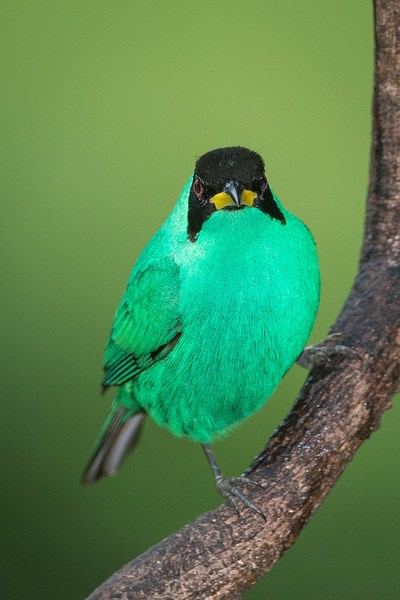 Green Honeycreeper by Dennis H Miller