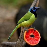 Green Jay - Bird Story