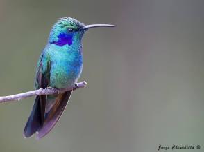 Green Violet-ear - Colibri thalassinus - in Costa Rica by Jorge Chinchilla.