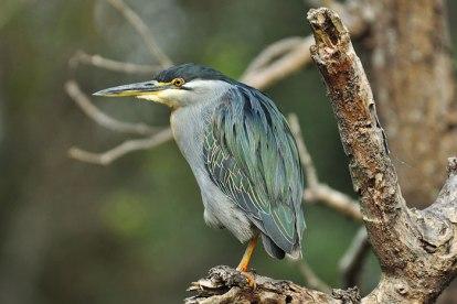 Greenback-Heron