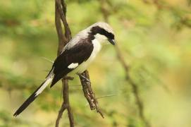 Grey-backed Fiscal - Lanius excubitoroides