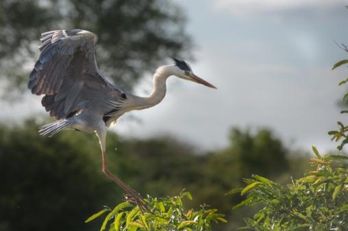 Grey Heron (2)