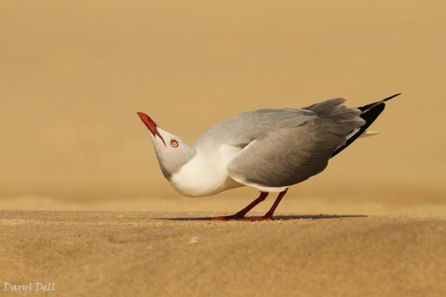 Grey-hooded Gull