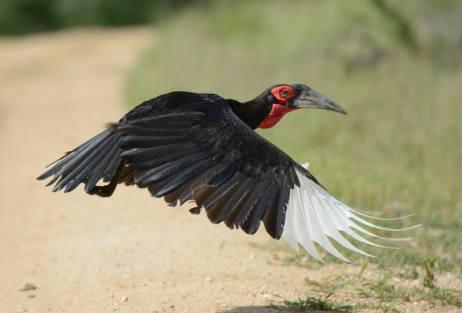 Ground Hornbill in Sadani NP - Tanzania.