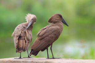 Hamerkop - Scopus umbretta © by Artur Bujanowicz