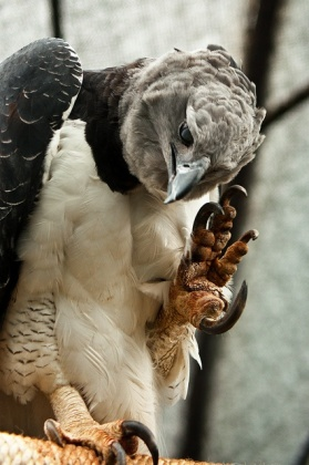 Harpy Eagle (2)