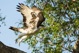 Hawk Eagle takeoff - Londolozi