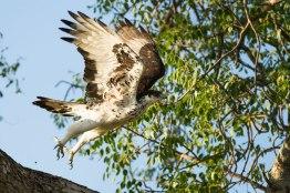 Hawk Eagle takeoff - Londolozi