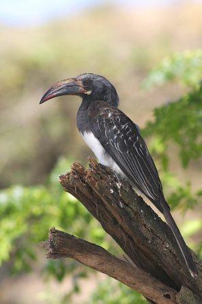 Hemprich's Hornbill - Tockus hemprichii © by Piotr Jonczyk