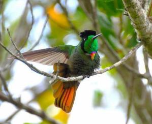 Hooded Visor Bearer By Aves del mundo