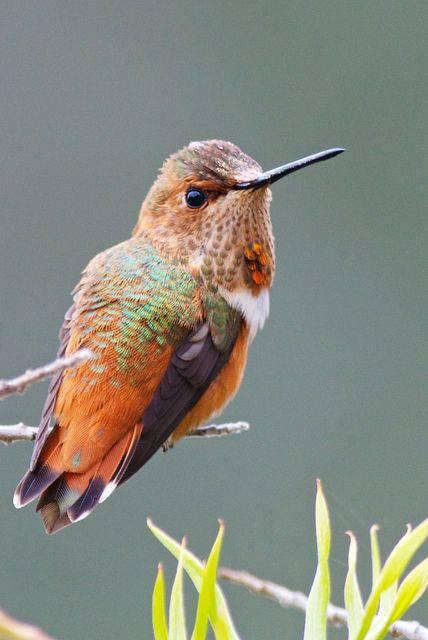 Hummingbird (2)