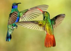 Hummingbird dispute - Sparkling Violet-ear and Rufous-tailed Coronet - in Ecuador by Graeme Guy