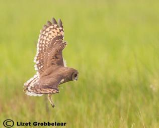 Hunting Marsh Owl
