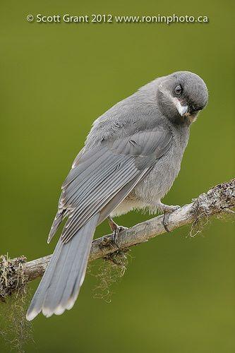 Immature Grey Jay