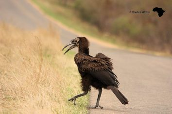 Immature Ground Hornbill