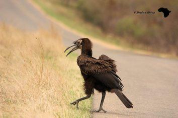 Immature Ground Hornbill
