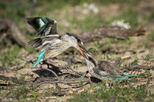 In the heat of morning in the Kalahari, two Striped Kingfishers battle it out for dominance.