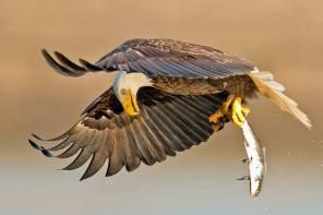 Incredible picture of Bald Eagle - Haliaeetus leucocephalus - by Brian Kushner.