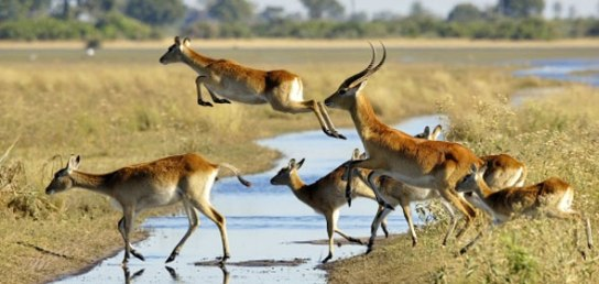jacana-camp-red-lechwe-crossing-river-590