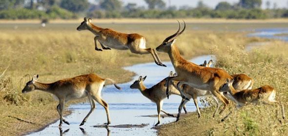 jacana-camp-red-lechwe-crossing-river-590