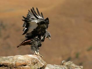 jackal buzzard
