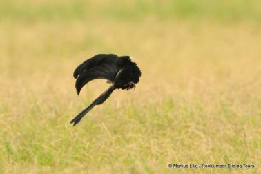 Jackson's Widowbird display