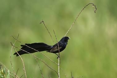 Jackson's Widowbird - Euplectes jacksoni © by Krzysztof Błachowiak