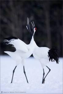Japanese cranes in Hokkaido, Japan