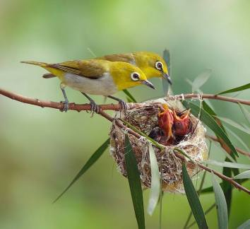 Japanese White-eye parents feeding their young