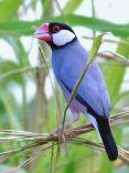 Java Sparrow - Kuşların dünyası