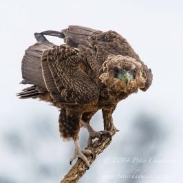 Juvenile Bateleur ruffling feathers. Kwang Waterhole, Nossob Riverbed, Kgalagadi Transfronteir Park.