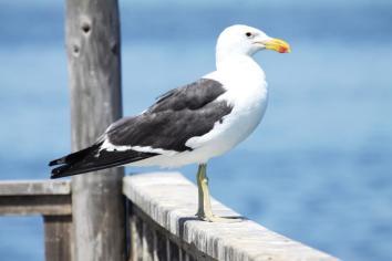 Kelp Gull ( Larus dominicanus)