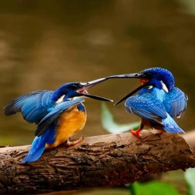 King Fishers