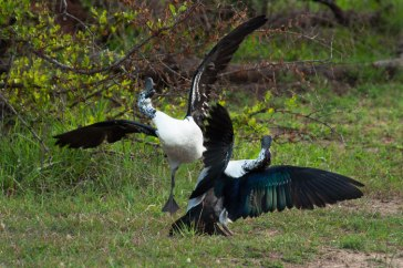 Knob-billed-ducks-fighting-2