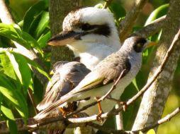 Kookaburra By Allan Honor