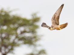 Lanner Falcon, Kgalagadi Park by Isak Pretorius Wildlife Photography