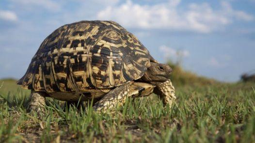 Leopard_Tortoise_Okavango_Delta_Botswana_1280x720