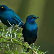 Lesser Blue-eared Starling - Lamprotornis chloropterus