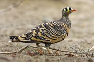 Lichtenstein's Sandgrouse - Rockjumper - Worldwide Birding Adventures