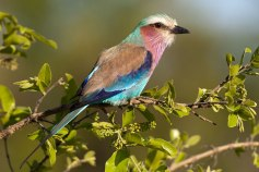 Lilac Breasted Roller 5Oct12