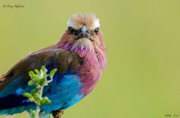 Lilac Breasted Roller by Penny Robartes