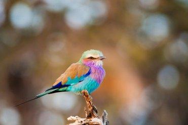 Lilac breasted roller - Mashatu - Isak Pretorius Wildlife Photography