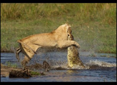 Lion attacks crocodile