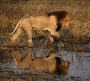 Lion,_Okavango_Delta_of_Botswana