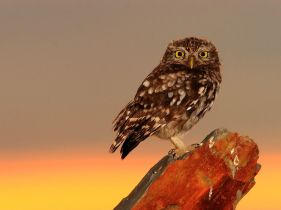 little-owl-spain_30719_990x742
