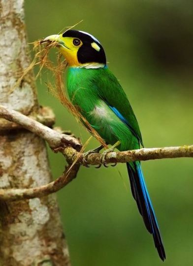 Long-Tailed Broadbill ( Psarisomus dalhousiae )