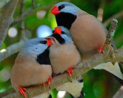 LONG TAILED FINCHES